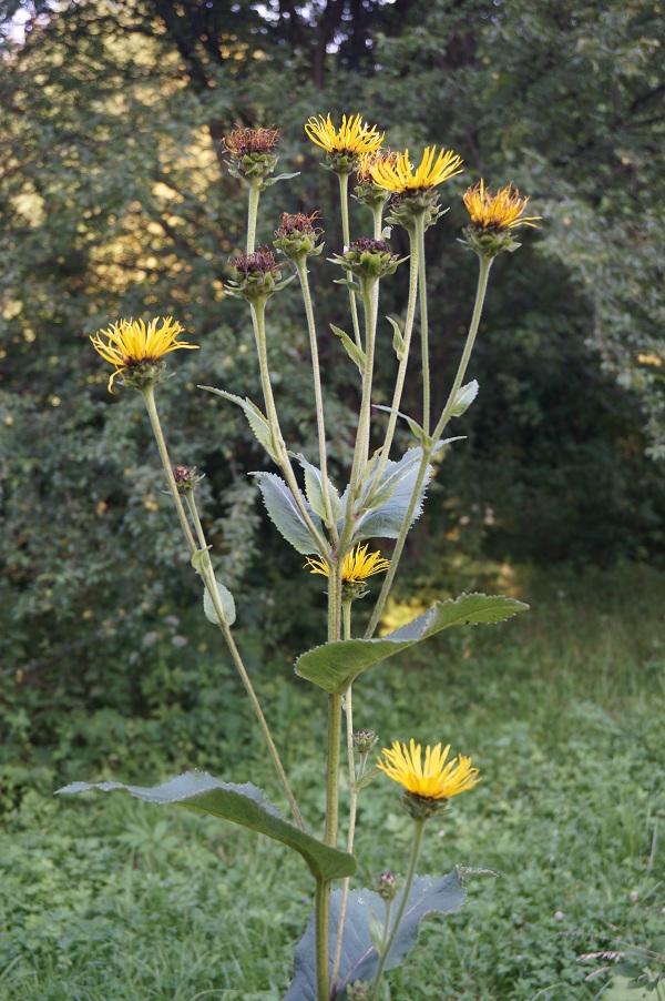 Oman, smotrawa, rudbekia i topinambur – często mylone rośliny o żółtych kwiatach