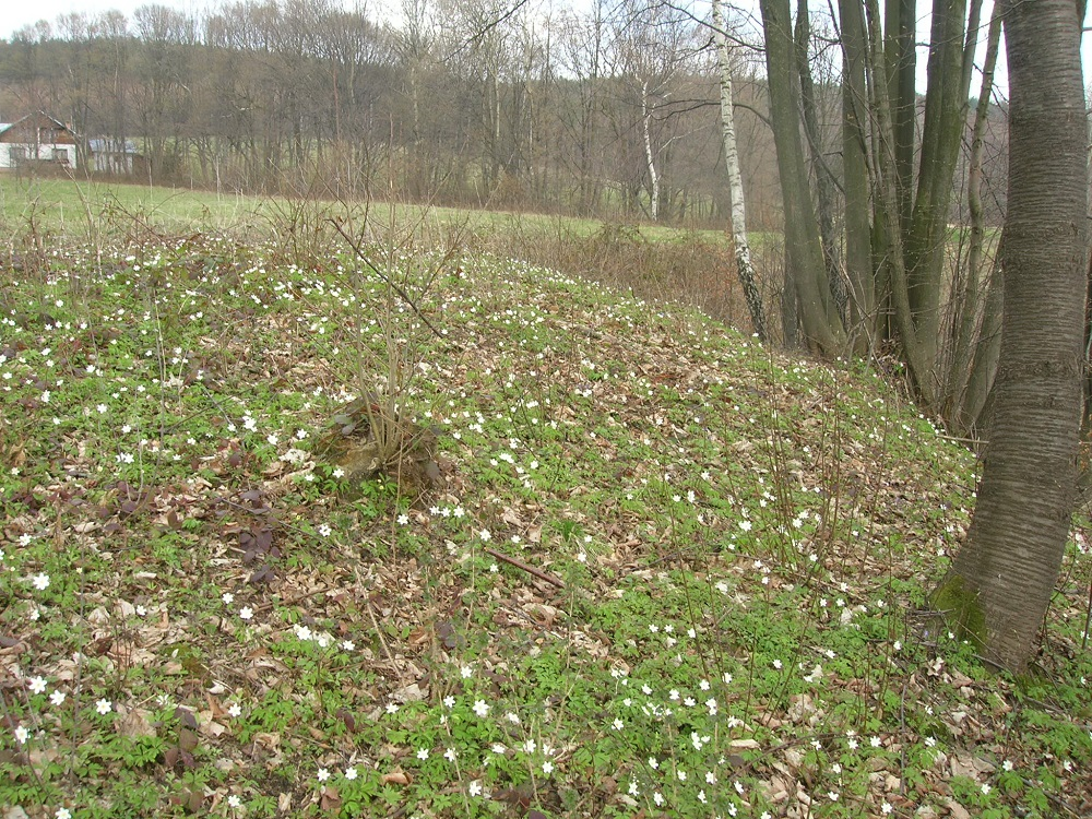 wiosenne zawilce na polanie