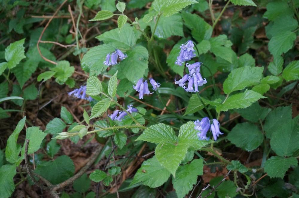 Hyacinthoides non-scripta DSC04127