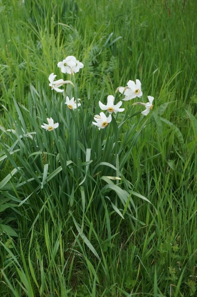 Narcissus poeticus (4)