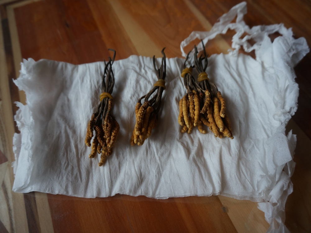 Cordyceps sinensis (Dong Chong Xia Cao, 冬虫夏草) - drogi grzyb leczniczy wyrastający na gasienicach jest kopalnią złota dla Tybetańczyków
