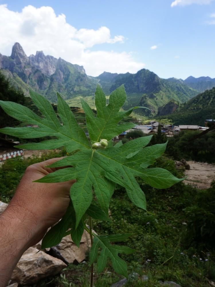 Triosetum pinnatifidum - ma jadalne owoce