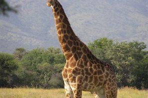 Sen o żyrafie i Hala Koszyki