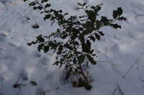 Ostrokrzew – zaskakujące wnioski po zimie