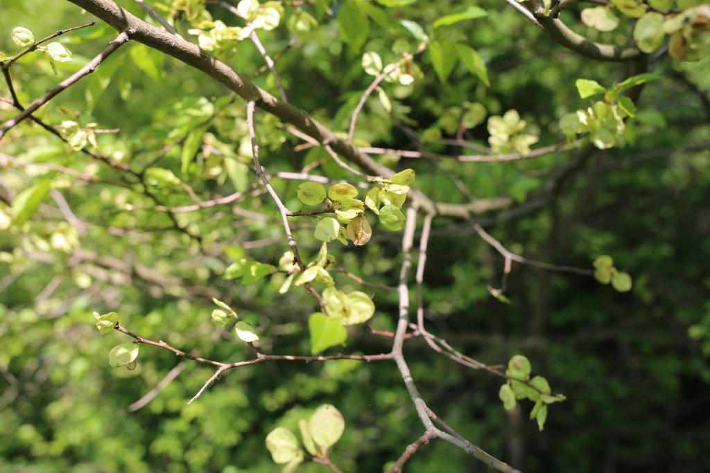 Owoce wiązu – wiosenne warzywo przynoszące bogactwo
