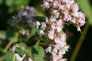 Czy na łące kwietnej mogę posadzić aromatyczne zioła?