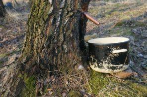 Gdzie i kiedy polskie prawo zezwala na zbieranie dzikich roślin i grzybów jadalnych?