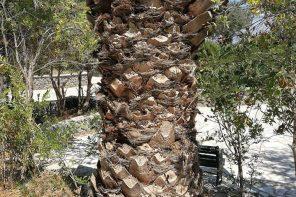 Śmierć palm – kolejna nadciągająca katastrofa w biosferze