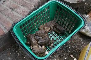 Polska bez żab i salamander? Płazy umierają na naszych oczach jak dinozaury