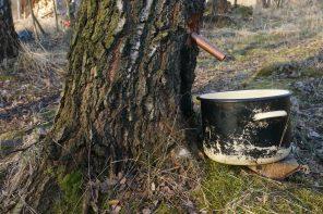 Płynięcie soku w drzewach a wahania pogody