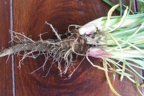 Dzika marchew, pasternak, kozibród i łopian – najlepsze jadalne korzenie znajdziesz na poboczu drogi